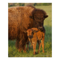 American Bison cow and calf, North Dakota Poster