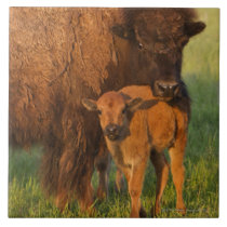 American Bison cow and calf, North Dakota Tile