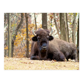 American Bison in Fall Colors Woods Animal Photo Postcard