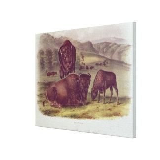 American Bison or Buffalo Canvas Print