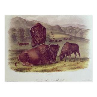 American Bison or Buffalo Postcard