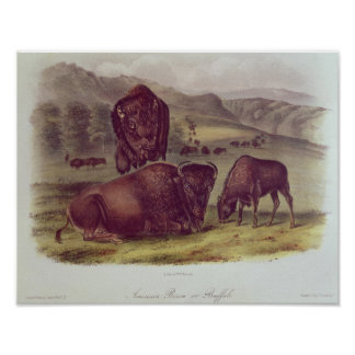 American Bison or Buffalo Poster