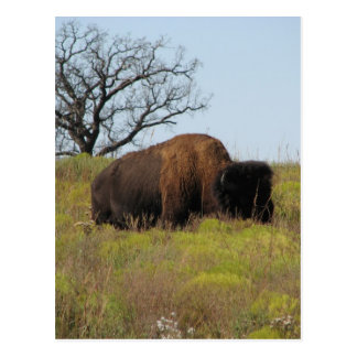 American Bison Post Cards