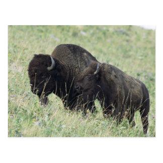 American Bison Postcard