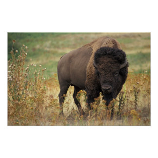 American Bison Posters