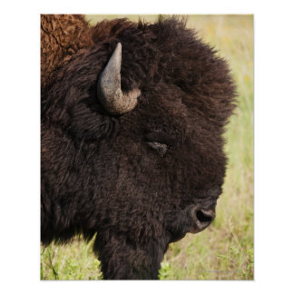 American Bison South Dakota Poster