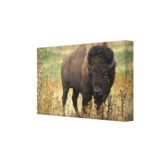American Bison Wrapped Canvas Print