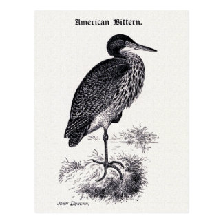 American Bittern Vintage Illustration Postcard