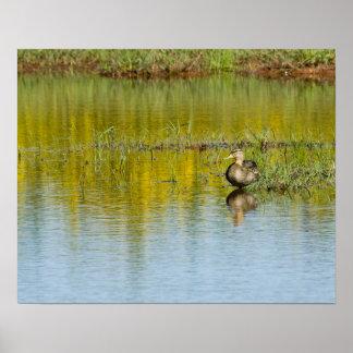 American Black Duck on Pond Print