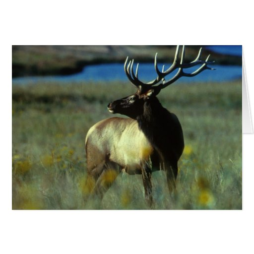 American Bull Elk Card