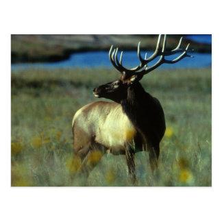 American Bull Elk Postcards
