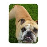 American Bulldog Premium Magnet