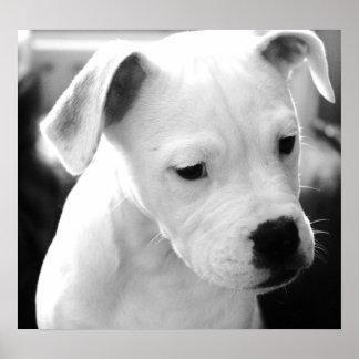 American Bulldog  Pups Posters