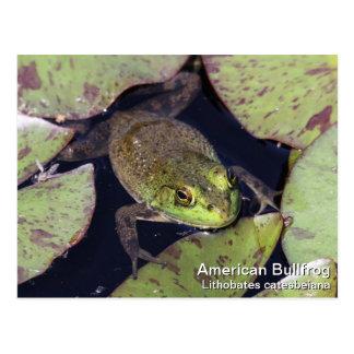 American Bullfrog Postcard