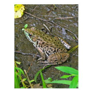 American Bullfrog - Rana catesbeiana Postcard