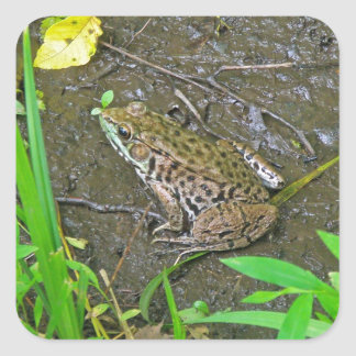American Bullfrog - Rana catesbeiana Square Sticker
