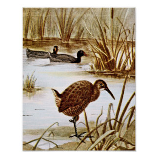 American Coot and Clapper Rail Poster