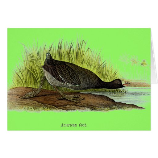 American Coot Card
