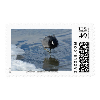 American Coot First Class Postage