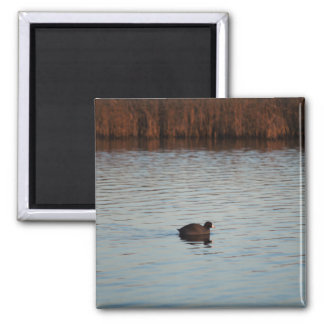 American Coot Magnet