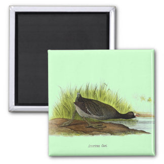 American Coot Magnets