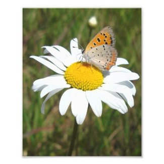 American Copper Butterfly Photo Print