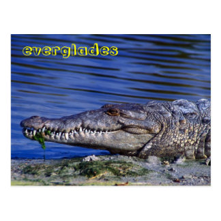American Crocodile Everglades Postcard