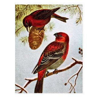 American Crossbill and Pine Grosbeak Postcard
