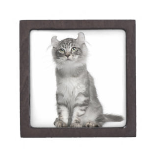 American Curl Kitten (3 months old) Jewelry Box