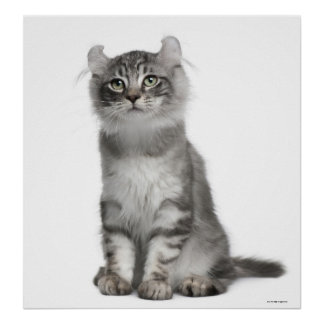 American Curl Kitten (3 months old) Poster