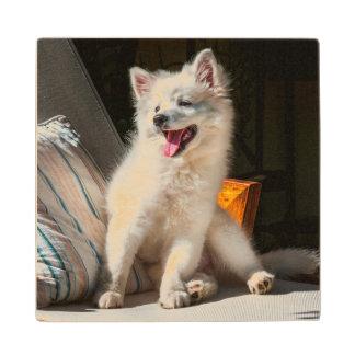 American Eskimo puppy sitting on a lawn chair Wood Coaster