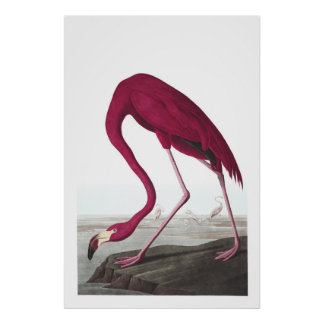 American Flamingo Illustration Poster