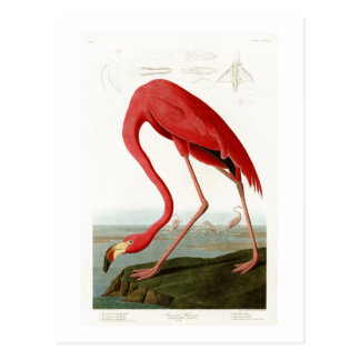 American Flamingo John Audubon Birds of America Postcard