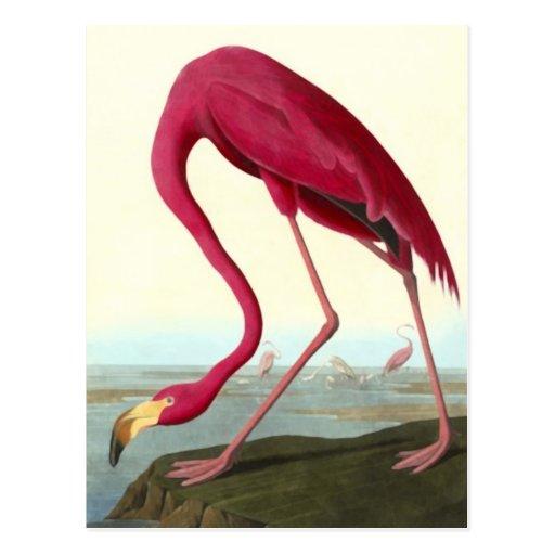 American Flamingo, John James Audubon Postcard