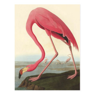 American Flamingo | John James Audubon Postcard