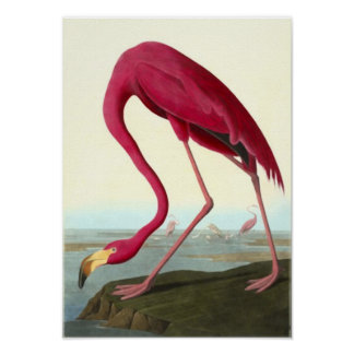 American Flamingo, John James Audubon Poster
