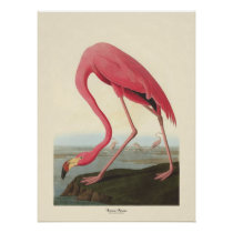 American Flamingo   John James Audubon Poster