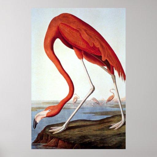 American Flamingo - Wildlife by John Audubon Posters