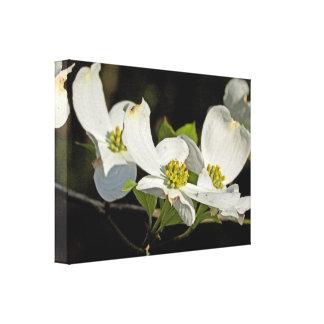 American Flowering Dogwood Flowers  Cornus florida Canvas Print