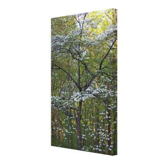 American Flowering Dogwood Tree - Cornus florida Canvas Print