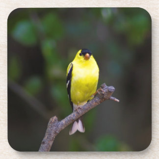 American Goldfinch coasters