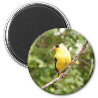 American Goldfinch Fridge Magnets