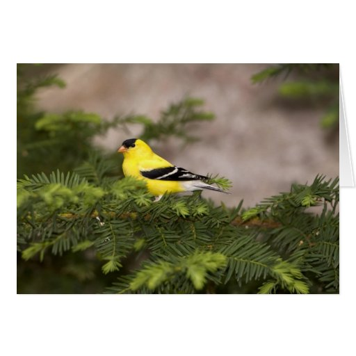 American Goldfinch male in a tree Card