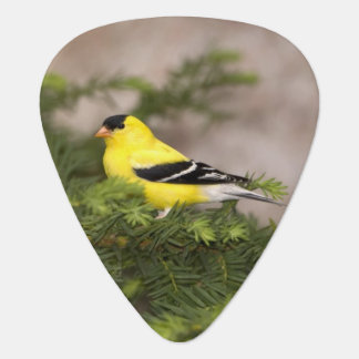 American Goldfinch male in a tree Guitar Pick