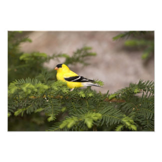 American Goldfinch male in a tree Photograph