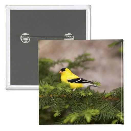 American Goldfinch male in a tree Pin
