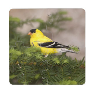 American Goldfinch male in a tree Puzzle Coaster