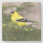 American Goldfinch male in a tree Stone Coaster