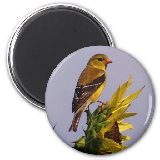 American Goldfinch on Sunflower 2 Inch Round Magnet