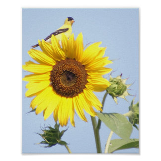 American Goldfinch on Sunflower Poster